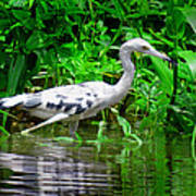 The Little Blue Heron Poster