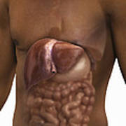 The Liver And Digestive System Poster