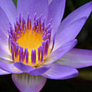 The Lotus Flower - Tropical Flowers Of Hawaii - Nymphaea Stellata Poster