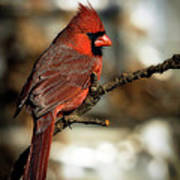 The Male Northern Cardinal Poster