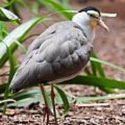 The Masked Lapwing Vanellus Miles Previously Known As The Mask Poster