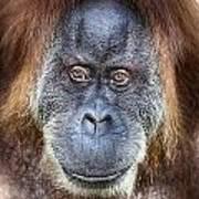 The Orangutan Album V4 Poster