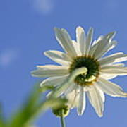The Oxeye Daisy Poster
