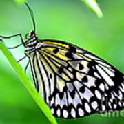 The Paper Kite Or Rice Paper Or Large Tree Nymph Butterfly Also Known As Idea Leuconoe Poster