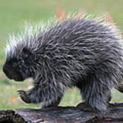 The Porcupine Walk Poster