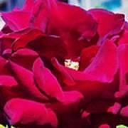 The Red Velvet Rose Poster by Jan Moore