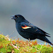 The Red-winged Blackbird (agelaius Poster