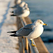 The Ring-billed Gull Poster