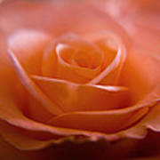 The Rose Poster by Kim Lagerhem