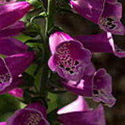 The Splendor Of Foxgloves Poster