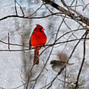 Blue Eyes In The Snow Cardinal  Poster