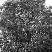 The Survivor Tree In Black And White Poster