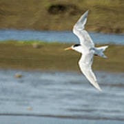 The Tern Sq Poster