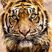 The Tiger Poster
