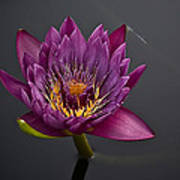 The Tiny Dragonfly On A Water Lily Poster