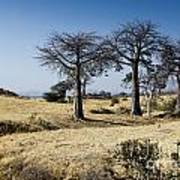 The Trees Of Ruaha Poster