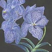 The Vanda Orchid Poster