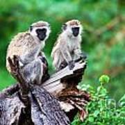The Vervet Monkey. Lake Manyara. Tanzania. Africa Poster