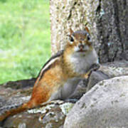 The Watching Chipmunk Reclines Poster