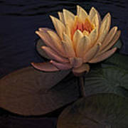 The Waterlily Poster by Jill Balsam