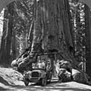 The Wawona Giant Sequoia Tree Poster