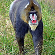 The World's Largest Species Of Monkey The Mandrill  Poster
