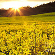 The Yellow Rapeseed Field Beautiful Poster