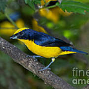 Thick-billed Euphonia Poster