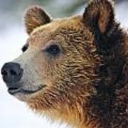 Thinking Bear Poster