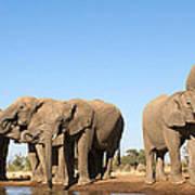 Thirsty Elephant Herd Poster