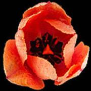 This Dordogne Tulip Poster