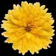 This Yellow Chrysanthemum Poster