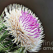 Thistle Bloom Poster