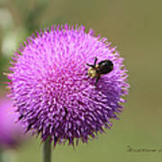 Thistle And A Bee Poster