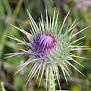 Thistle Flower Poster