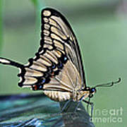 Thoas Swallowtail Butterfly Poster
