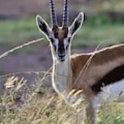Thomson's Gazelle (gazella Thomsoni Poster