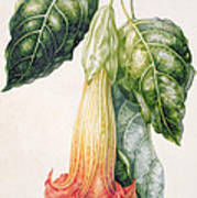 Thorn Apple Flower From Ecuador Datura Rosei Poster
