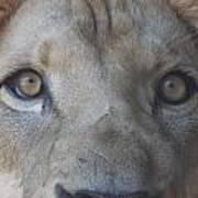 Those Lion Eyes Poster