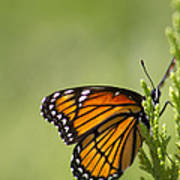 Those Magnificent Monarchs - Danaus Plexippus Poster