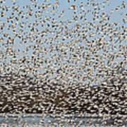 Thousands Of Snow Geese Poster