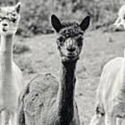 Three Alpaca Friends Poster