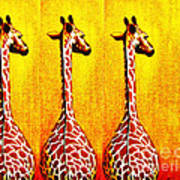 Three Amigos Giraffes Looking Back Poster