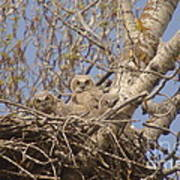 Three Baby Owls  Poster