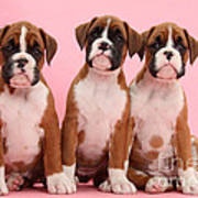 Three Boxer Puppies Poster