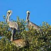 Three Brown Pelicans Poster