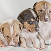 Three Collie Puppies Poster