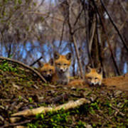 Three Cute Kit Foxes At Attention Poster