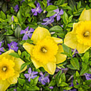 Three Daffodils In Blooming Periwinkle Poster