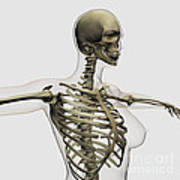 Three Dimensional View Of Female Rib Poster by Stocktrek Images